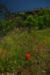 Brilliant red Indian paintbrush wildflowers below the Enchanted Rock batholith